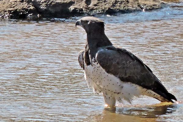 Martial Eagle 1